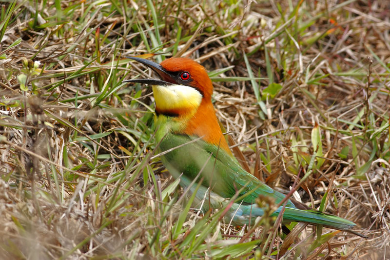 Chestnut-headed Bee-eater Merops leschenaulti Animal Themes Animal Wildlife Animals In The Wild Animal Bird Vertebrate One Animal Plant No People Day Nature Perching Land Grass Field Selective Focus Outdoors Green Color Orange Color Beauty In Nature Chestnut-headed Bee-eater