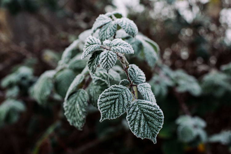 Close-up of frosted plant