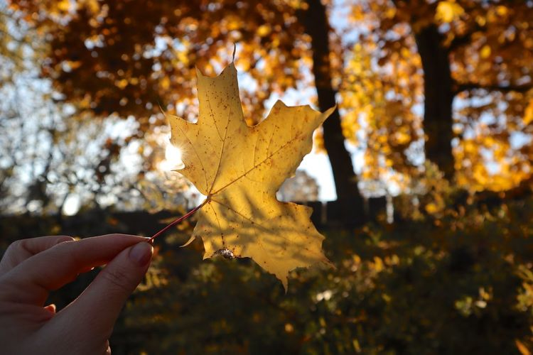 Autumn Human Hand Human Body Part Plant Part Hand Change Leaf One Person Tree Plant Holding Body Part Real People Finger Nature Human Finger Focus On Foreground Personal Perspective Lifestyles Maple Leaf Outdoors Leaves Autumn Collection
