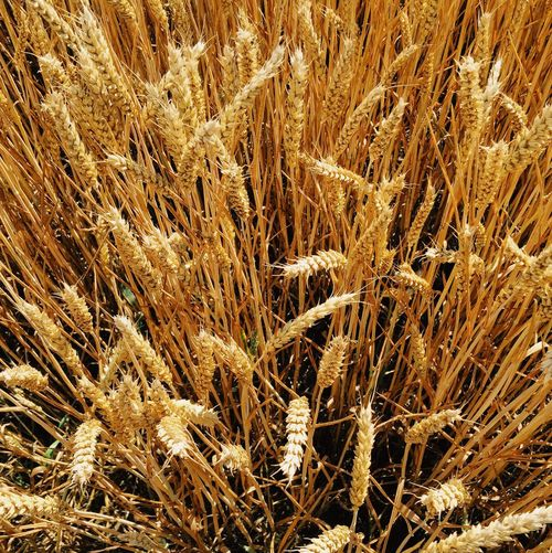 Growth Agriculture Nature Field Full Frame Cereal Plant Plant Straw No People Backgrounds Wheat Beauty In Nature Outdoors Close-up Ear Of Wheat Day Grass Gold Colored Winter Freshness