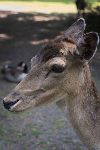 Animal Body Part Animal Head  Close-up Deer Nature No People Outdoors Portrait Reh Selective Focus