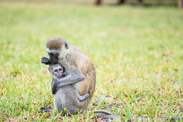Breastfeeding Baby Südliche Grünmeerkatze Vervet Monkey Animal Family Animal Wildlife Animals In The Wild Breastfeeding Monkey Care Grass Monkey Mother And Child Nature No People Sitting Togetherness Two Animals Young Animal