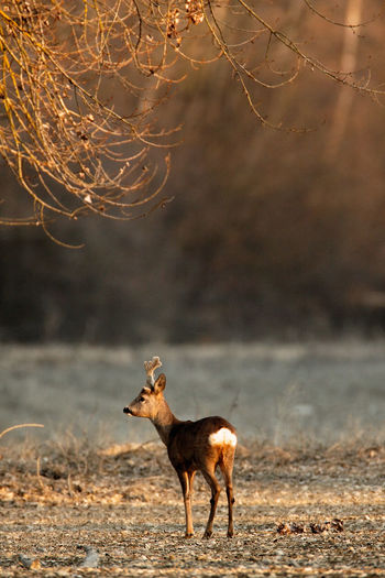 Roe deer near in dry side-branch of the river drava