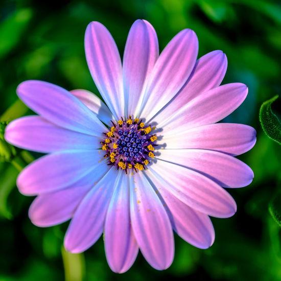 broken symmetry Blossom In Bloom Daisy Stamen Pollen Flowering Plant Close-up Pink Color Petal Osteospermum Beauty Flower Flower Head Colourful Springtime EyeEm Nature Lover Beauty In Nature Purple Près De Gry