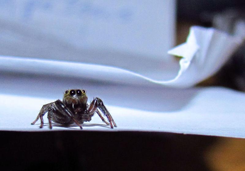 Animal Themes Arachnid Aracnofobia Close-up Eye Eyes Eyes Watching You Focus On Foreground Macro Macro Insects Macro Nature Macroclique Nature One Animal Paper Spider Spider Eyes Spiders Spiderworld Watching Zoology