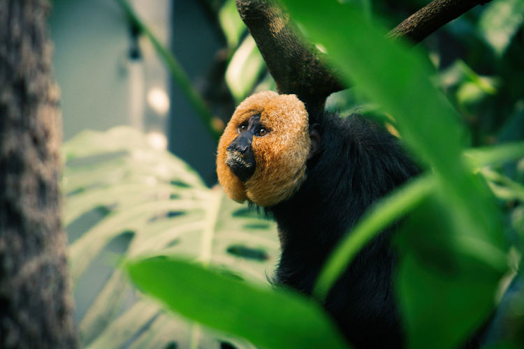 Close-up of white-faced saki