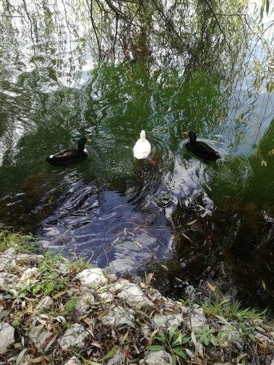 Coimbra Portugal Duck Patos Mondego River