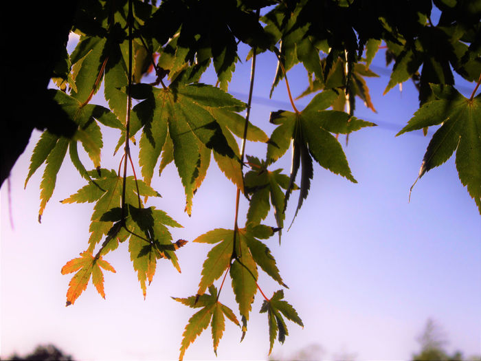 No People Outdoors Plant Leaf Tree Plant Part Leaves Maple Tree Close-up Nature Maple Leaf Branch Sky