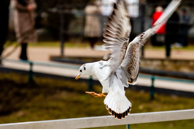 Seagull landing on railing
