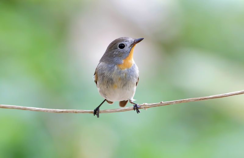 Animal Themes Bird Animal Vertebrate One Animal Animal Wildlife Animals In The Wild Perching Focus On Foreground Close-up Day No People Nature Robin Outdoors Songbird  Plant Twig Full Length Beauty In Nature Small Mouth Open
