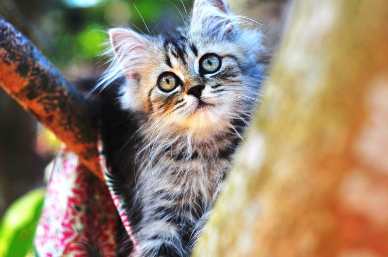 Animal Themes Cat Lovers Cats Of EyeEm Cats 🐱 Cat Kitten 🐱 Pets Portrait Feline Looking At Camera Domestic Cat Close-up Yellow Eyes Animal Eye Persian Cat  Animal Markings Kitten Animal Nose Animal Face Animal Head  Whisker