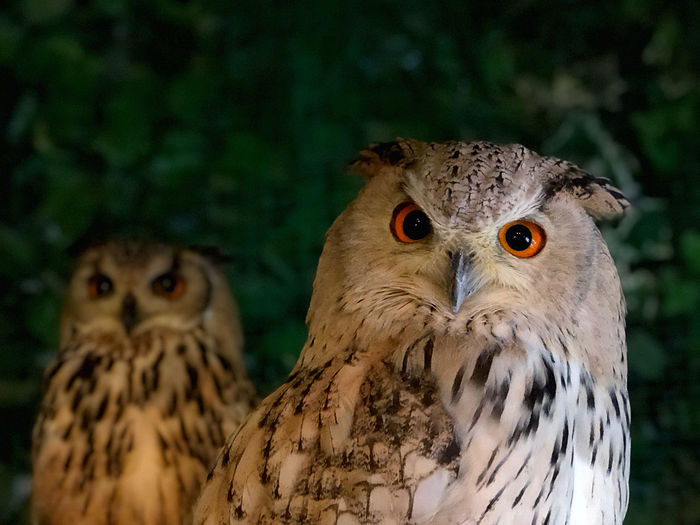 Close-up portrait of owls