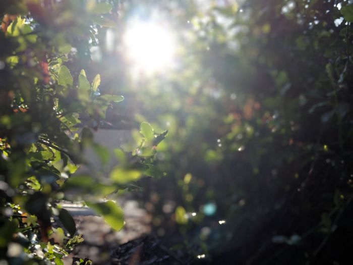 Beauty In Nature Bright Brightly Lit Day Forest Green Color Growth Land Leaf Lens Flare Nature No People Outdoors Plant Plant Part Selective Focus Solar Flare Streaming Sun Sunbeam Sunlight Sunny Tranquility Tree