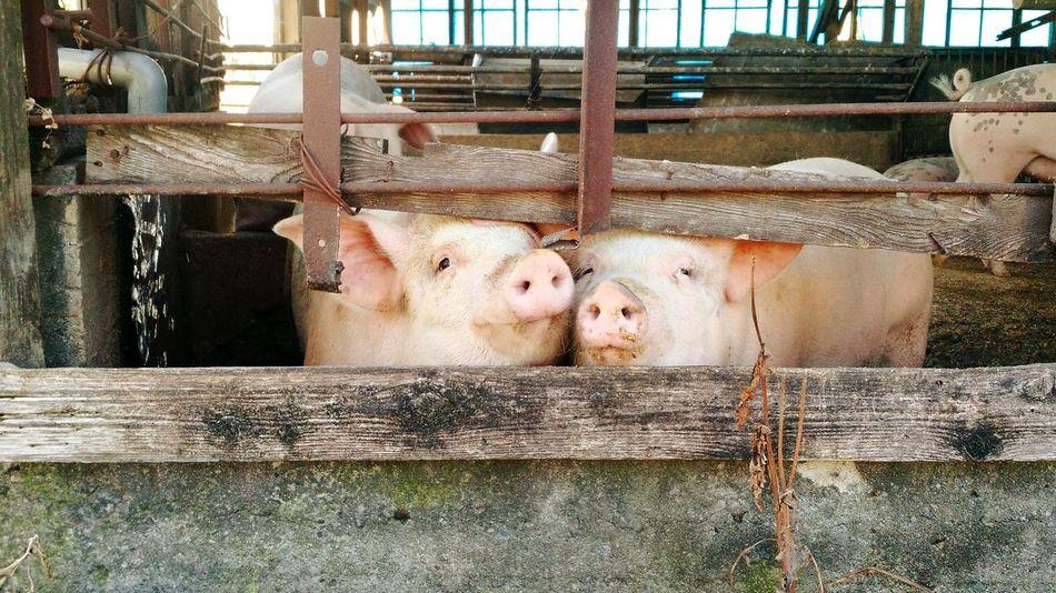 Showcase June Pigs Piggy Kissing Sad Anti-pork Love Animals Nose Snort Cage Fence Future Food Cute Favorite Picture June