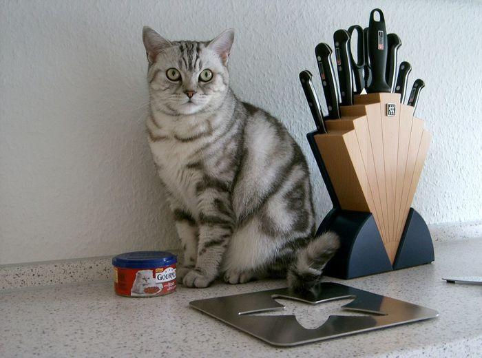 Animal Themes British Shorthair Day Desk Organizer Domestic Animals Domestic Cat Feline Indoors  Mammal No People One Animal Pets Portrait