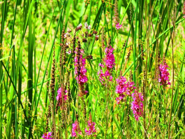 Flower Purple Green Color Growth Nature Beauty In Nature Plant Fragility No People Outdoors Day Freshness Grass Flower Head Blooming Close-up The Week On EyeEm EyeEmNewHere Fucsia Color Fucsia Flowers