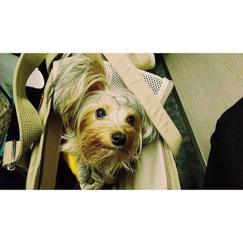 ∴きゅうちゃん初めての新幹線 きゅうちゃんもあけましておめでとう🐵🐶🗻🌅 今年もよろしく(´▽`) 新幹線 東京 新潟 きゅうちゃん 初めての 遠出 ヨークシャーテリア ヨーキー 犬 新しい 犬用 カバン お気に入り 新しい お洋服 リバーシブル ジャンバー かわいい