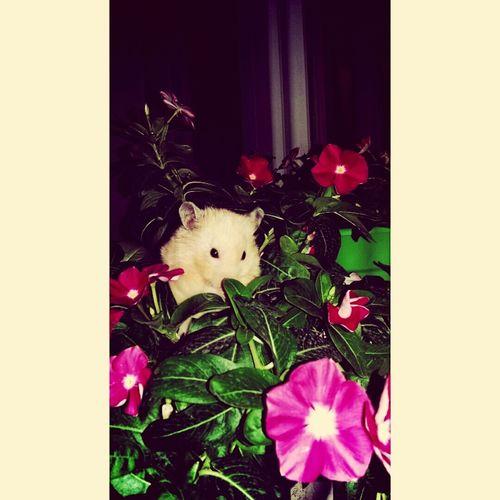Hamster Syrianhamster Flowers 🐭🌺
