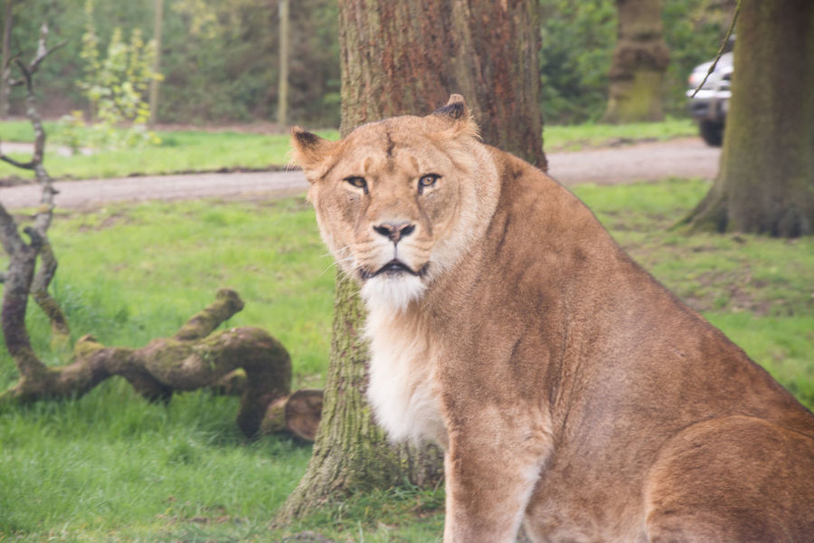Animal Wildlife Animals Animals In Captivity Animals In The Wild Close-up Day Green Lioness Mammal Nature One Animal Outdoors Safari Tree Zoo
