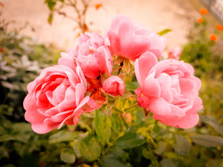 Rose🌹 Rose Rose Flower Nature Roserose Romantic❤ Flower Head Flower Pink Color Springtime Petal Close-up Plant Wild Rose Plant Life In Bloom Botany Blooming Autumn Mood