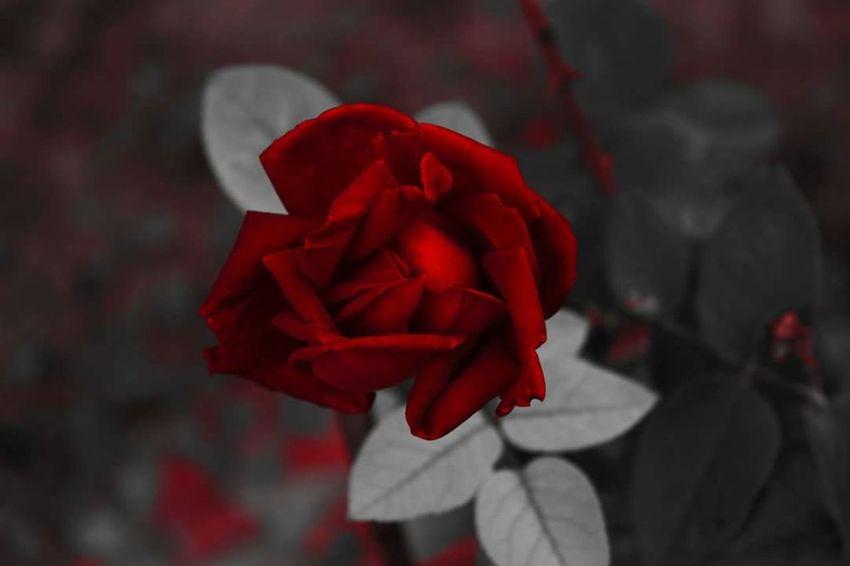 Red Rose Roses Desaturation