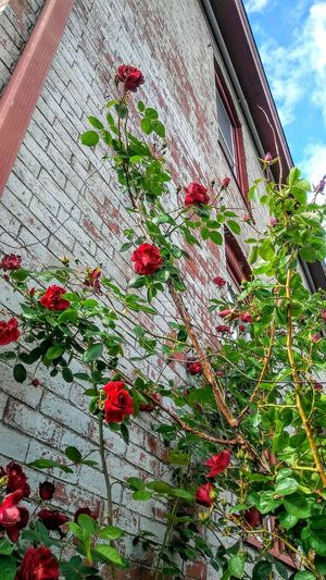 The climb ~ In Portland Maine USA Roses Brick Patch Of Blue Sky Nature_perfection Happiness No People Loving The Sky Color Of Life Beauty In Nature Tranquility Nature Lover Loving The Landscape Red Flower Leaf Hanging Sky Close-up Architecture Blooming Creeper