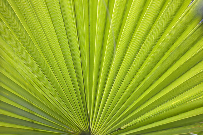 Green Plant Wetland Back Lit Fan Leaves Tresco Tresco Abbey Gardens Wet
