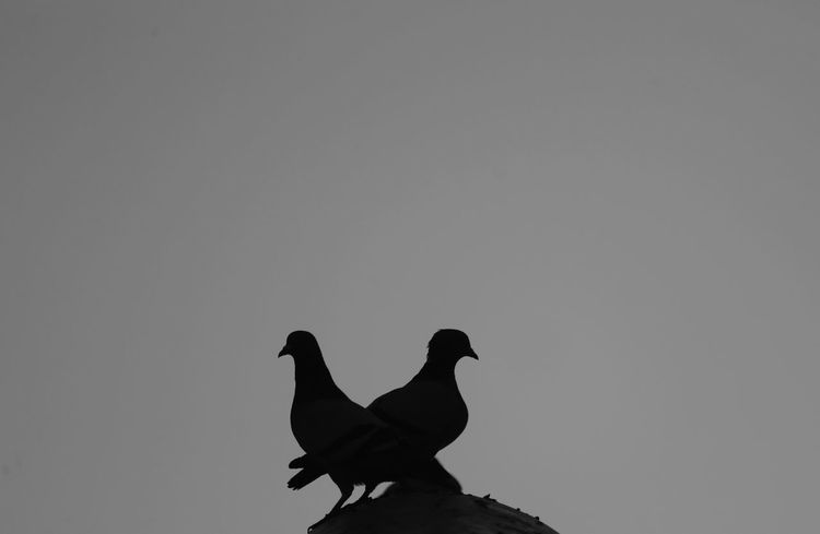 doves Bird Animal Animal Themes Vertebrate Animal Wildlife Animals In The Wild Sky One Animal No People Clear Sky Copy Space Low Angle View Nature Day Outdoors Livestock Domestic Animals Perching Silhouette Zoology