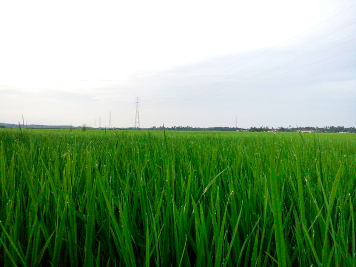 padi sawah Cereal Plant Growth Agriculture Freshness Crop  Field Rural Scene Farm Food No People Outdoors Day Sky Nature Irrigation Equipment