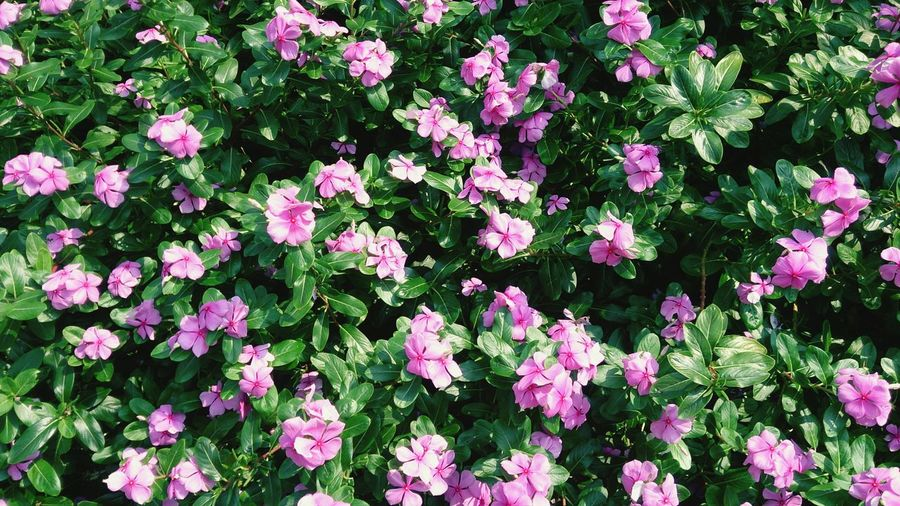 Flower Flower Head Pink Color Full Frame Close-up Plant Pink Blooming Petal In Bloom Blossoming  Greenery