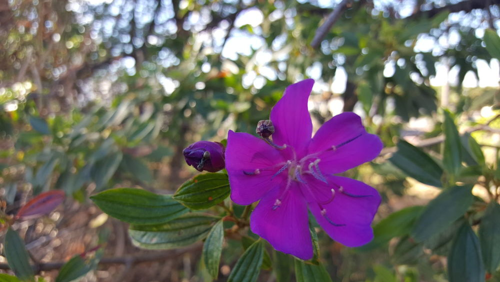 Followtofollow Likeforlike Brasil Distrito Federal  EyeEmNewHere Flower Purple Nature Plant Leaf No People Outdoors Petal Day Flower Head Beauty In Nature Fragility Close-up Follow To Follow Like For Like Brasília Brazil Green Color Focus On Foreground Freshness Tree