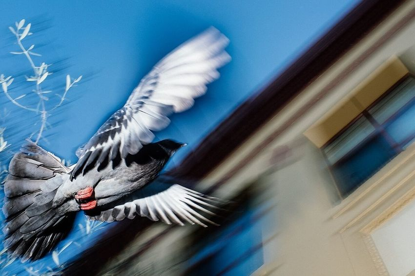 Pigeon Shot! Lower Haight, SF - 2018 FullFrontalFlash Pigeon Flash StreetfotoSF Streetphotography No People Blue Nature Motion Day Feather  Blurred Motion Flying The Street Photographer - 2018 EyeEm Awards