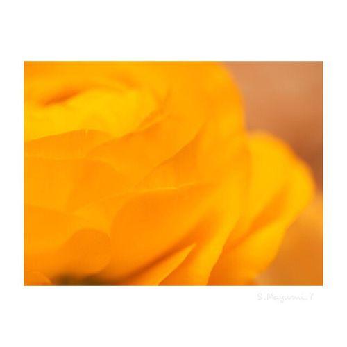 オレンジ色の可愛らしいラナンキュラス💐❤️ Flower Beauty In Nature Japan Photography Olympus Photography Playground Olympus OM-D E-M5 Memories Day Olympus倶楽部 日本 東京 Japan City Life Flower Head Nature Beauty ラナンキュラスのお花