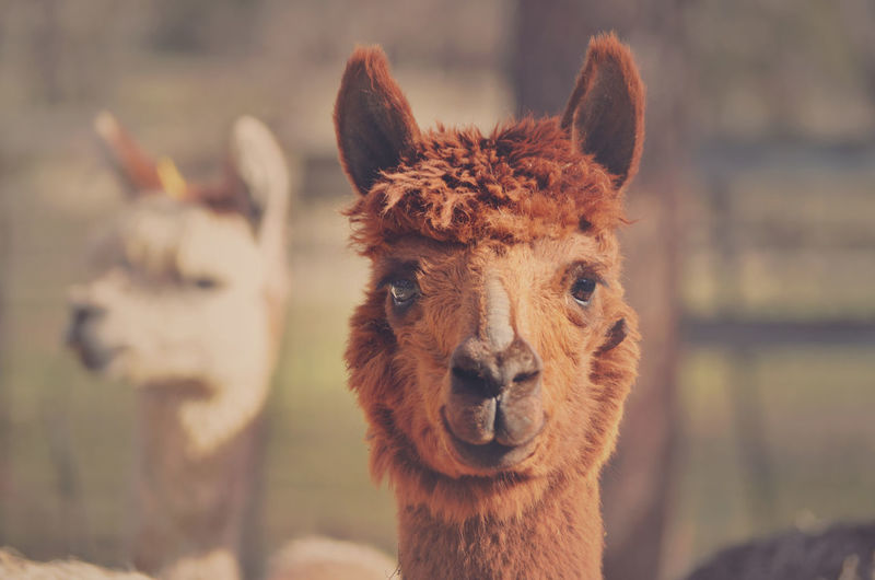 Portrait of brown alpaca at farm