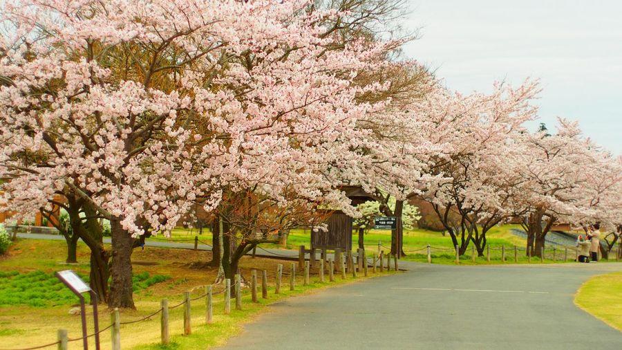 Cherry Trees Growing By Roadside