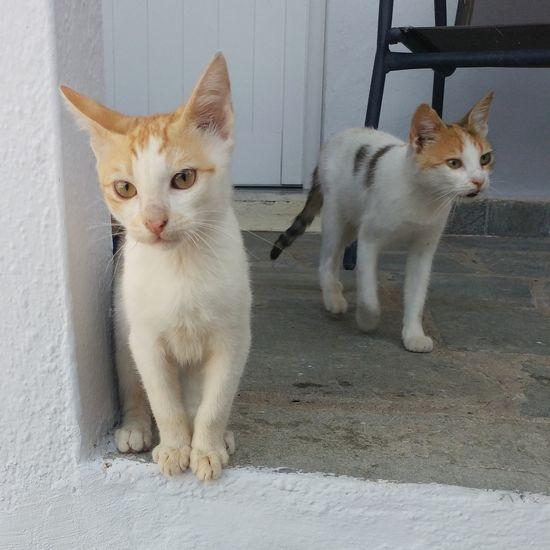 inquisitive cats Domestic Cat Looking At Camera