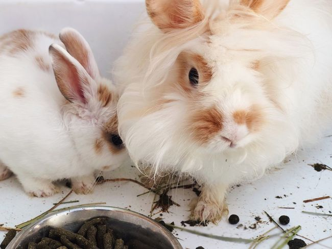 White rabbit 🐇 Bunny  Rabbits Mother Baby Pets Farm Animal Family Mammal Animal Animal Themes Pets Domestic Animals Domestic One Animal Rabbit - Animal Vertebrate White Color Food Nature Indoors  Animal Body Part
