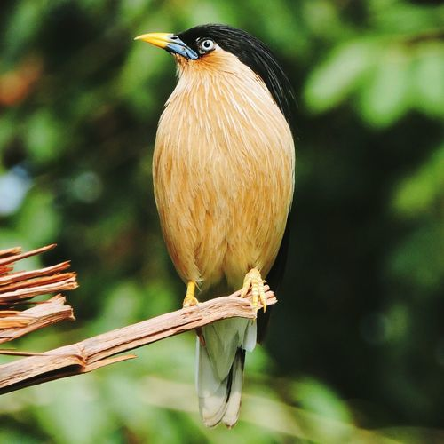 Close-up of brahminy starling perching on branch