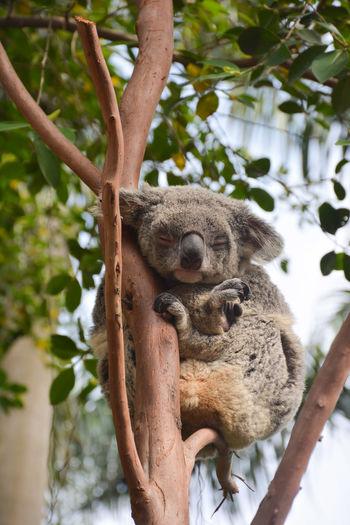 Koala sleeping while clinging on tree branch