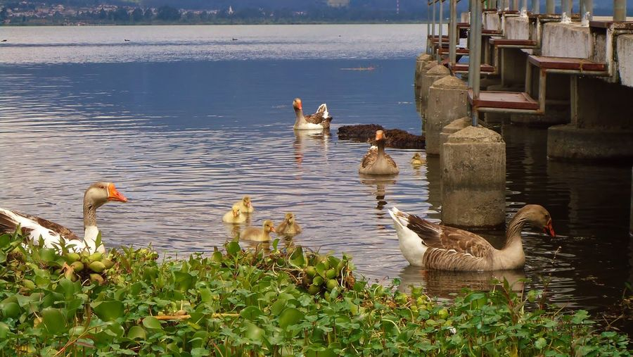 Graylag Geese Swimming On Lake By Plants