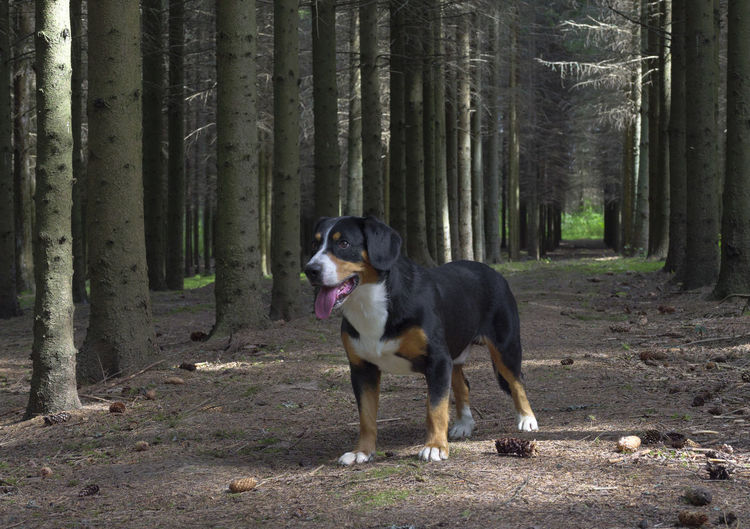 Entlebucher Sennenhund or Entlebucher Mountain Dog in the spruce forest in summer. Animal Animal Themes Canine Day Dog Domestic Domestic Animals Forest Land Looking Looking Away Mammal Nature No People One Animal Pets Plant Purebred Dog Summer; Dog; Forest; Pine; Animal; Nature; Tree; Pet; Park; Green; Mammal; Wood; Cute; Grass; Happy; Leaf; Breed; Autumn; Friends; Play; Path; Puppy; Spring; Domestic; Foliage; Purebred; Walking; Landscape; Walk; Black; Beautiful; Tree Branch; Colours; Br Tree Vertebrate WoodLand