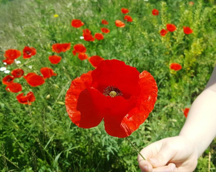 Morning Happiness Beauty In Nature Grass Freshness Poppy Love Weekend JOY ❤️ Beautiful ♥ Enjoying The Moment Enjoy Life Enjoylittlethings Live For The Story Childhood Sun