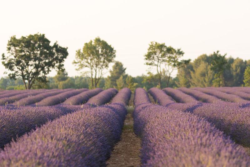 Lavenders On Farm Against Clear Sky