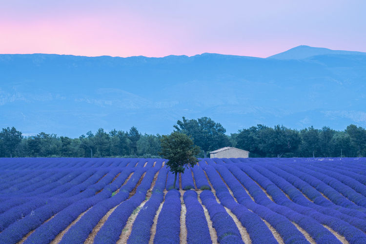 Agriculture Beauty In Nature Blue Environment Field In A Row Land Landscape Lavender Mountain Mountain Range Nature No People Plant Purple Rural Scene Scenics - Nature Sky Tranquil Scene Tranquility Tree