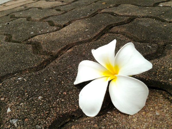 Plumeria flower fall down on the rock floor, plumeria flower pure white. Flower Frangipani Fragility Flower Head Beauty In Nature Close-up Petal Freshness No People Day Plumeria Flowers Plumeria Frangipani Flower Fall Down White Flower Flower Collection Pure White Flower Pure White Nature Outdoor