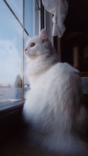 One Shot Türkischangora Sweet Catoftheday Cat Lovers Cat♡ Cat Cats Showcase: February First Eyeem Photo EyeEm Phone Art Photooftheday Photoshoot PhonePhotography Beautiful Market Looking At The Window Act Like Here I Am