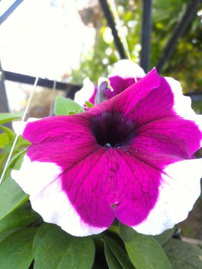Purple white flower Fkowers Fkower Flowering Plant Beautiful Nature Flower Head Flower Petunia Pink Color Petal Close-up Plant