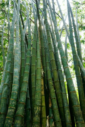 Bamboos Bamboo Forest Tallest Grass Grasses Green Color Greenery WoodLand Woods Hello World EyeEm Gallery Growing EyeEm Best Shots Sunlight Urban Spring Fever Taking Photos Growth Composition Writting Written In Wood Straight Up Stand Up Straight Lookingup Lookinguphigh In Dhaka, Bangladesh