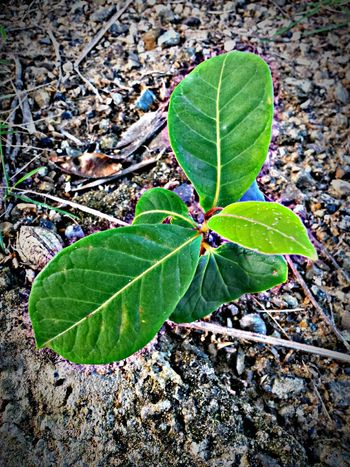 Kanyn Puertorico Puerto Rico Plant ? Sand Almondtree ? Nature Green Ground Tree