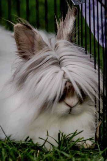 Max The Rabbit Rabbit Lionhead